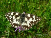 Schachbrett (Melanargia galathea), Edelfalter, Nymphalidae, Saturinae, Augenfalter, Tierportraits, tierspuren.at