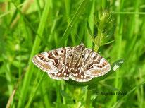 Achateule (PhlogophoraScheck-Tageule (Euclidia mi),  Schmetterling, Nachtfalter, Tierportraits, tierspuren.at