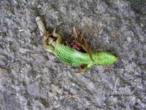 Zauneidechse (Lacerta agilis), Reptil, Todfund, tot, tierspuren.at