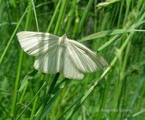 Hartheu-Spanner (Siona lineata), Nachtfalter, Spanner, Geometridae, Insekt, Tierportraits, tierspuren.at