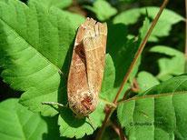 Bunte Bandeule (Noctua fimbriata), Eulenfalter, Noctuidae, Tierportraits, tierspuren.at