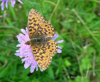 Magerrasen Perlmuttfalter (Boloria dia), Tagfalter, Edelfalter, Nymphalidae, Tierportraits, tierspuren.at