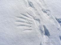 Saatkrähe (Corvus frugilegus) - Flügelabdruck und Spur, tierspuren.at