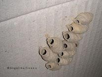 Orientalische Mauerwespe (Sceliphron curvatum), © Mag. Angelika Ficenc