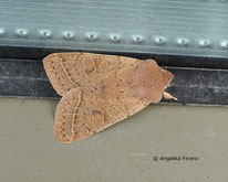Rundflügel-Kätzcheneule (Orthosia cerasi) , Eule, Nachtfalter, Tierportraits, tierspuren.at