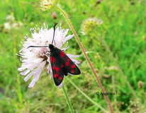 Sechsfleckwidderchen (Zygaena filipendulae), Nachtfalter, Schmetterling, Insekt, Tierportraits, tierspuren.at