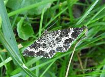 Ringelleib-Labkrautspanner (Epirrhoe hastulata), Geometridae, Spanner, Falter, Tierportrait, tierspuren.at
