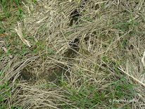 Feldmaus (Microtus arvalis) ©  Mag. Angelika Ficenc, tierspuren.at