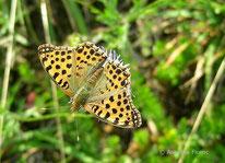 Kleiner Perlmuttfalter (Issoria lathonia), Tagfalter, Edelfalter, Nymphalidae, Tierportraits, tierspuren.at
