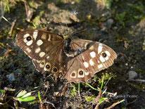Waldbrettspiel (Pararge aegeria), Tagfalter, Edelfalter, Nymphalidae, Augenfalter, Saturinae, Tierportraits, tierpsuren.at