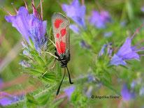Beilfleck-Widderchen (Zygaena loti), Nachtfalter, Schmetterling, Insekt, Tierportraits, tierspuren.at