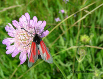 Thymian/Bibernell-Widderchen, Nachtfalter, Insekt, Schmetterling, Tierportraits, tierspuren.at