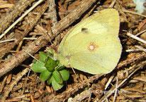Goldene Acht (Colias hyale), Tagfalter, Schmetterling, Tierportraits, tierspuren.at