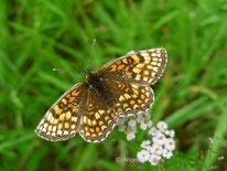 Wachtelweizen Scheckenfalter (Melitaea athalia), Edelfalter, Nymphalidae, Scheckenfalter, Melitaeini, Tierportraits, tierspuren.at