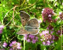 Brauner Feuerfalter (Lycaena tityrus), Bläuling, Schmetterling, Lycaenidae, Tierportraits, tierspuren.at