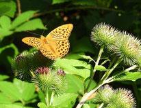Kaisermantel (Argynnis paphia), Edelfalter, Nymphalidae,Heliconiinae, Argynnini, Tierportraits, tierspuren.at