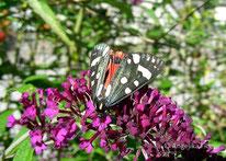 Schönbär (Callimorpha dominula), Nachtfalter, Eulenfalter, Erebidae, Bärenspinner, Arctiinae, Tierportraits, tierspuren.at