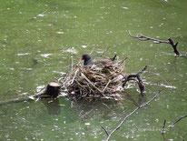 Teichhuhn (Gallinula chloropus) - Nest  ©  Mag. Angelika Ficenc, tierspuren.at