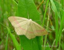 Rotbandspanner (Rhodostrophia vibicaria), Nachtfalter, Geomitridae, Spanner, Insekt, Natur, Tierportraits, tierspuren.at