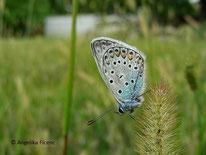 Hauhechel Bläuling (Polyommatus icarus), Bläuling, Tagfalter, Schmetterling, Tierportraits, tierspuren.at