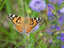 Distelfalter (Vanessa cardui), Edelfalter, Fleckenfalter, Nymphalinae, Tribus Nymphalini, Schmetterling, Insekt, Tierportraits, tierspuren.at