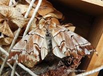 Birken-Spinner (Endromis versicolora), Weibchen, Nachtfalter, Spinner, Schmetterling, Tierportraits, tierspuren.at