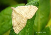 Ockergelbe Blattspanner (Camptogramma bilineata), Spanner, Geometridae, Nachtfalter, Tierportraits, tierspuren.at