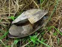 Gemeine Teichmuschel (Anodonta anatina), Mollusca, Bivalvia, tierspuren.at