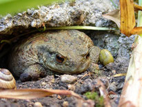 Erdkröte (Bufo bufo)  ©  Mag. Angelika Ficenc