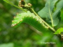 Eichen Zahnspinner (Peridea anceps), Raupe, Schmetterling, Tierportraits, tierspuren.at