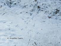 Straßentaube  © Mag.  Angelika Ficenc
