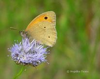 Großes Ochsenauge (Maniola jurtina), Edelfalter, Nymphalidae, Augenfalter, Saturinae, Tagfalter, Tierportraits, tierspuren.at