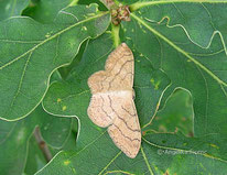 Breitgebänderter Staudenspanner (Idaea aversata forma remutata), Nachtfalter, Spanner, Geometridae, Tierportraits, tierspuren.at
