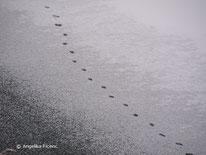 Fuchs (Vulpes vulpes) - Spur an Eisoberfläche, tierspuren.at