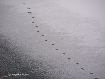 Fuchs (Vulpes vulpes) - Spur © Mag. Angelika Ficenc
