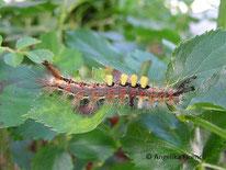 Schlehen Bürstenspinner (Orgyia antiqua), Nachtfalter, Eulenfalter, Erebidae, Tierportraits, tierspuren.at