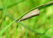 Rispengras Zünsler (Chrysoteuchia culmella), © Mag. Angelika Ficenc
