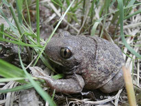 Knoblauchkröte (Pelobates fuscus)  ©  Mag. Angelika Ficenc