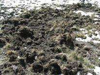 Wildschwein (Sus scrofa) - Aufgewühlter Boden, Fraßspuren, Säugetiere, Natur, tierspuren.at
