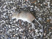 Hausmaus (Mus musculus) - Totfund, Echte Maus, Tier, tierspuren.at