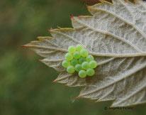 Grüne Stinkwanze (Palomena prasina) - Gelege & Eier, tierspuren.at