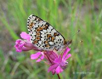 Wegerich Scheckenfalter (Melitaea cinxia), Edelfalter, Nymphalidae, Fleckenfalter, Melitaeini, Tierportraits, tierspuren.at