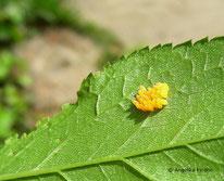 Siebenpunkt Marierkäfer (Coccinella septempunctata) - Gelege, Eier , Käfer, tierspuren.at