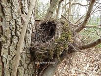 unbestimmte Drossel, Nest  © Mag. Angelika Ficenc