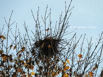 Saatkrähe Nest © Mag. Angelika Ficenc