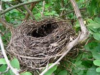 Amsel (Turdus merula) - Nest, ©  Mag. Angelika Ficenc, tierspuren.at