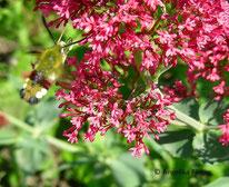 Hummelschwärmer (Hemaris fuciformis), Nachtfalter, Schmetterling, Insekt, Tierportraits, tierspuren.at