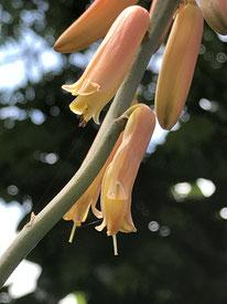 アロエベラのお花