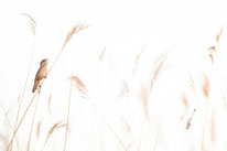 Rohrschwirl, Sebastian_Vogel, vogelfotografie, naturfotografie, vogel
