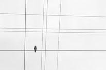 Bussard, Stromleitung, vogel, sebastian_vogel